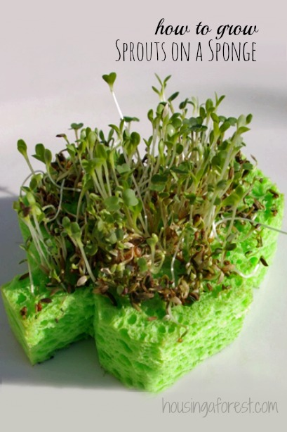 Shamrock-sprouts