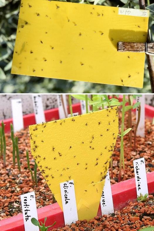 How-To-Kill-Fungus-Gnats (1)