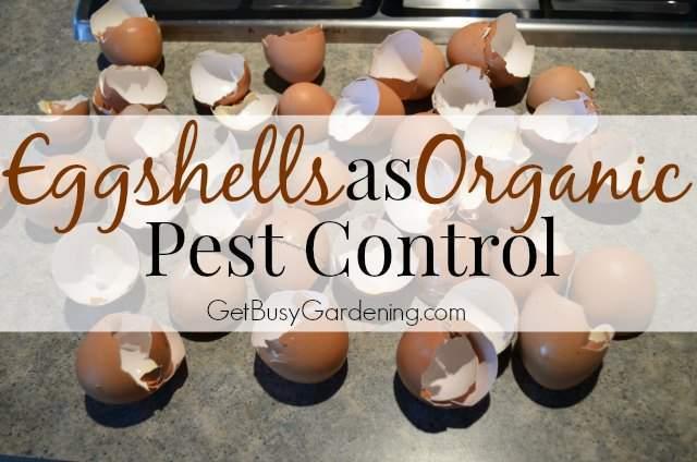 eggshellsAsOrganicPestControl