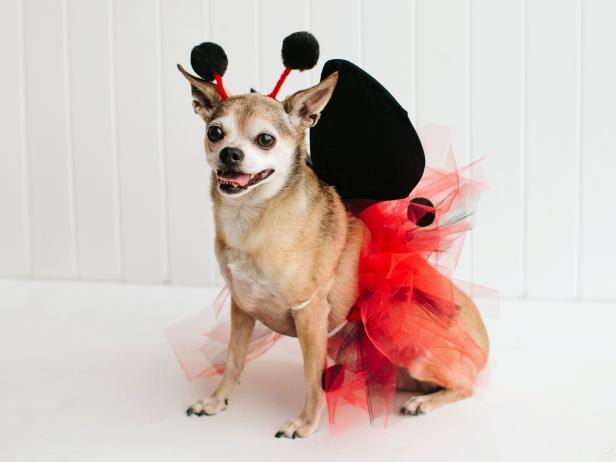 original_kim-stoegbauer-halloween-costume-dog-ladybug-beauty-jpg-rend-hgtvcom-616-462